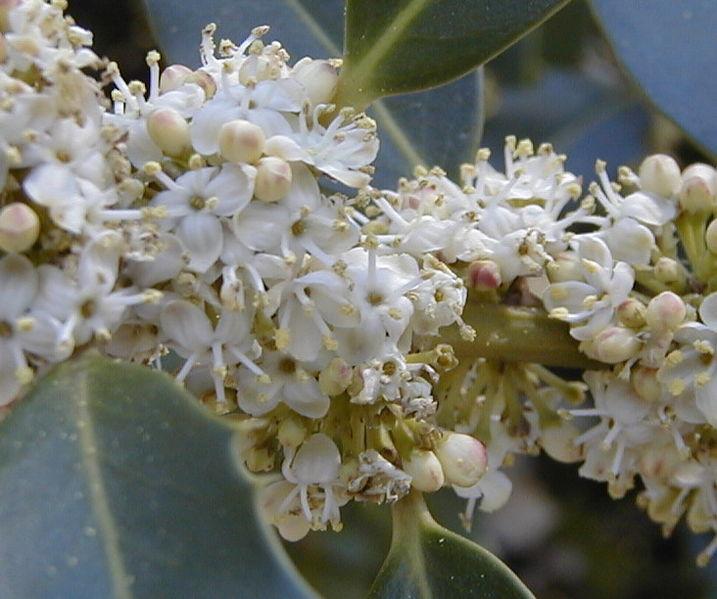 Holly, flores de bach